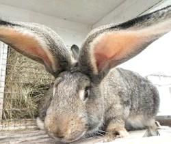Фото - Кращі породи кролів для розведення в домашніх умовах