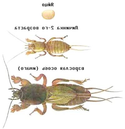 Розвиток капустянки