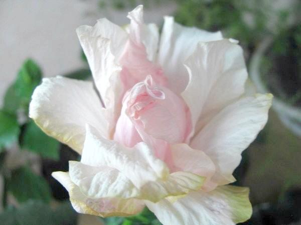 Квітка гибискуса