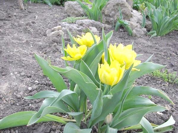 Монте Карло (Tulip Monte Carlo)
