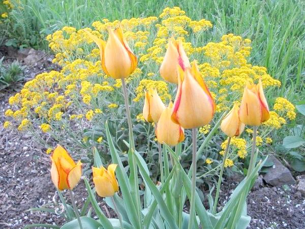 Дейпім (Tulip Deupim)