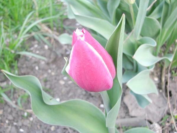 Ерік Хосфью (Tulip Eric Hofsjo)