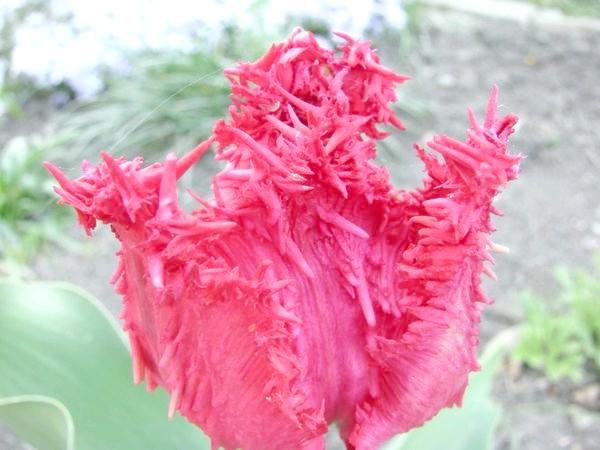 Барбадос (Tulip Barbados)