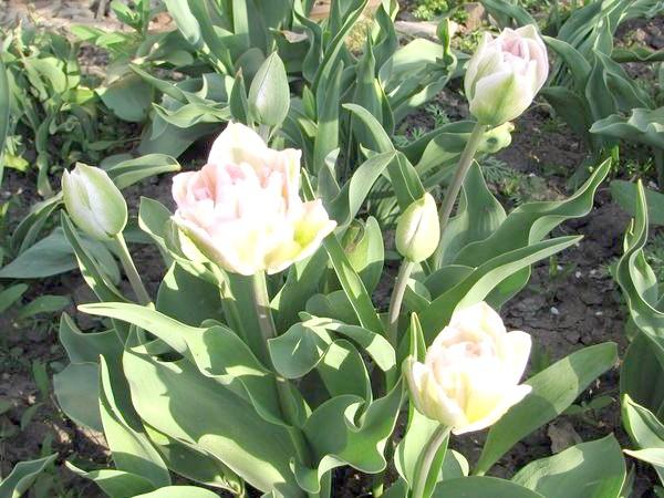 Анжеліка (Tulip Angelique)