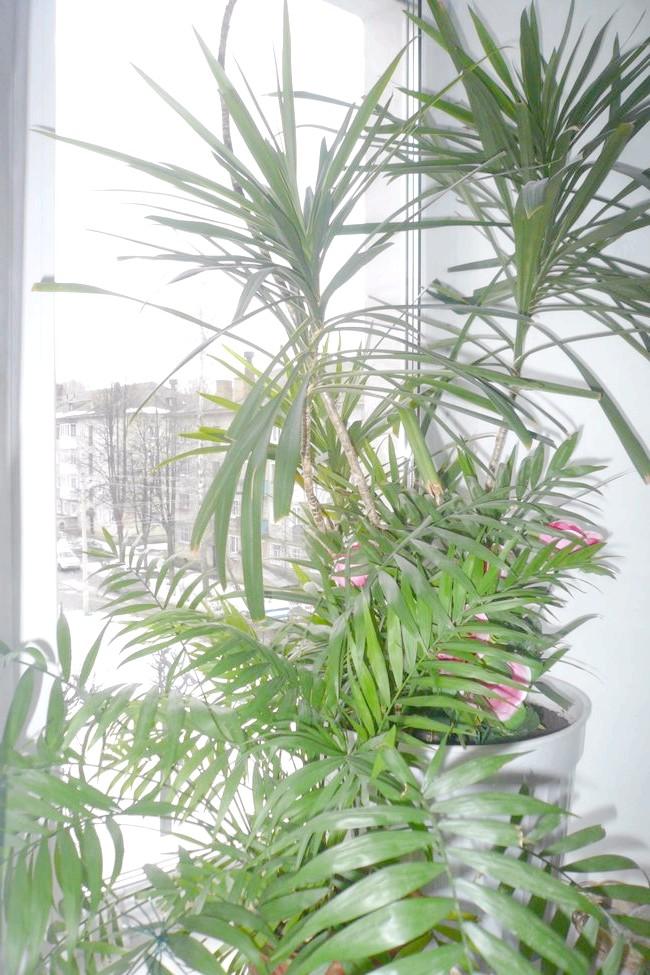 Драцена облямована (Dracaena Marginata) або маргината