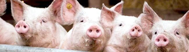 Фото - Мускусна свиня та інші популярні породи для домашнього свинарства