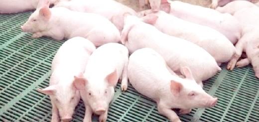 Тритижневі поросята великої білої свині, vladtv.ru