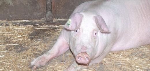 Фото свині породи Ландрас, agroprim.com