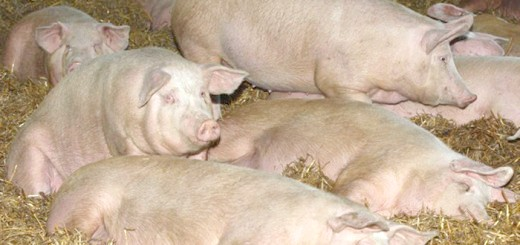 Зимове утримання свиней ландарс, prometey.org.ua