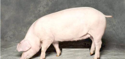 Фото свині м'ясної породи, meatinfo.ru