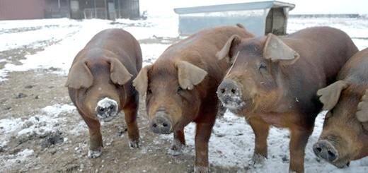 Зображення червоних свиней породи Дюрок, россельхоз.рф
