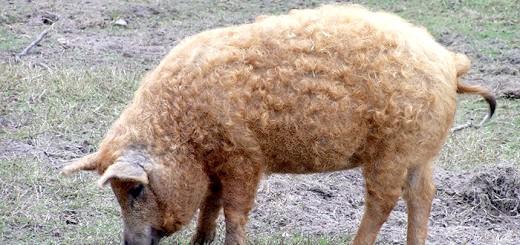 Порода свиней угорська мангалица, foodandwine.hu