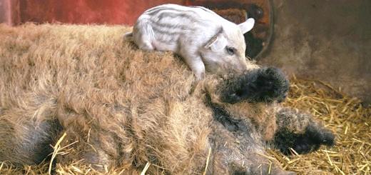 Фото свині породи мангал з поросям, nnm.ru