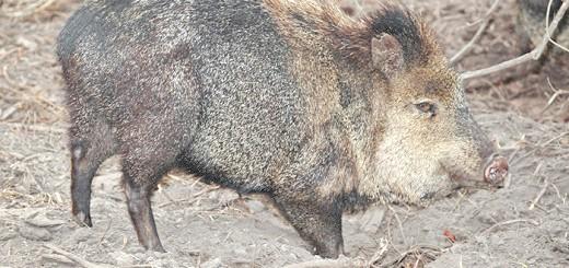 На фото мускусна свиня, guns.com