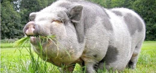 Фото свині м'ясо-сальної породи, doseng.org
