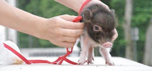 Фотографія декоративної свинки, young.rzd.ru