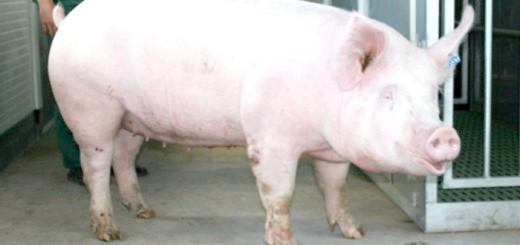 Зображення свині породи велика біла, ub.ua