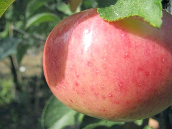 Яблуко сорту Мелба