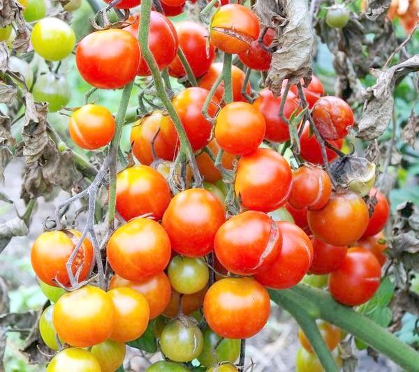 Фото - Народні методи боротьби з фітофторозом помідорів