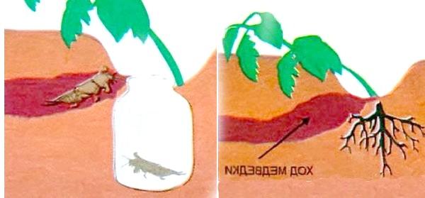 Пастка для капустянки, фото з сайту liveinternet.ru, автор не вказано