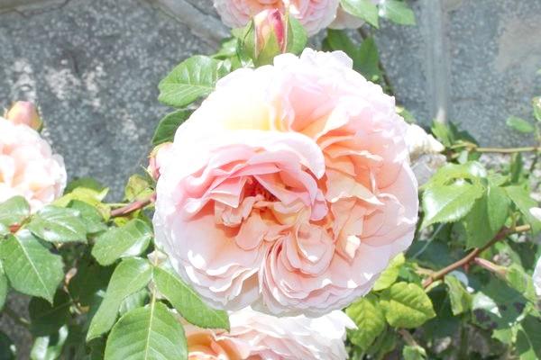 Справжні аристократки саду - в'юнкі троянди