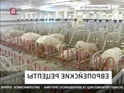 Фото - Нові технології вирощування свиней: холодну зміст, двофазна і канадська технологія