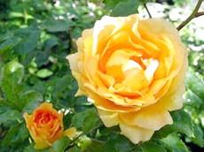 Весняна обрізка садових троянд