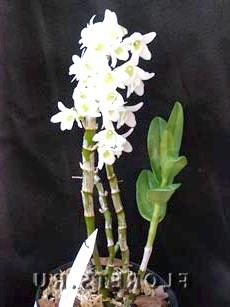 Вирощування орхідеї: Дендробіум