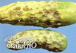 Огірки вражені хворобами чи шкідниками, що робити?