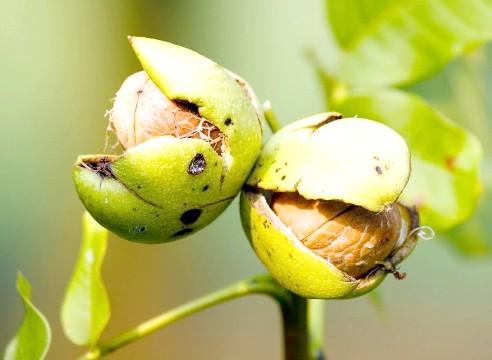 дозрілі волоські горіхи