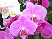 Орхідеї-фаленопсис