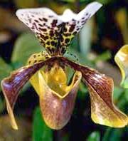 Орхідея - черевичок