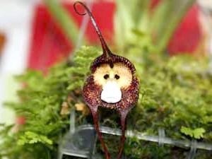 Орхідея дракула мавпа