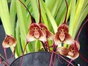 Фото орхідеї дракула мавпа
