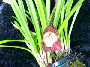 Орхідея Dracula simia