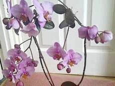 Орхідея цвіте!