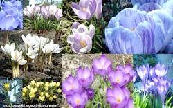 Фото - Від золотої до фіолетової - будь забарвлень бувають лілії
