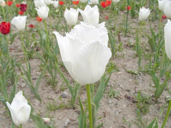 Тюльпан сорт Морозні Візерунки