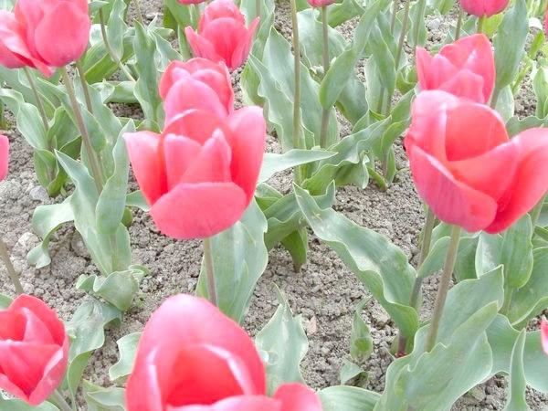 Вітчизняні сорти тюльпанів