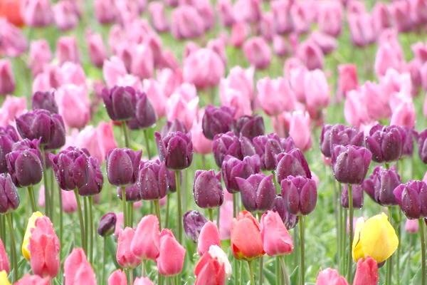 Цвітуть вітчизняні сорти тюльпанів
