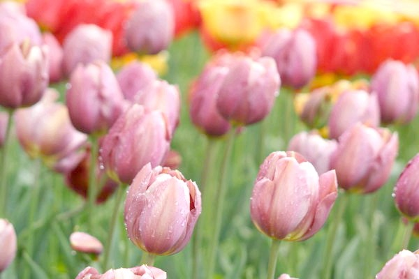Тюльпан сорт Бабусині Казки