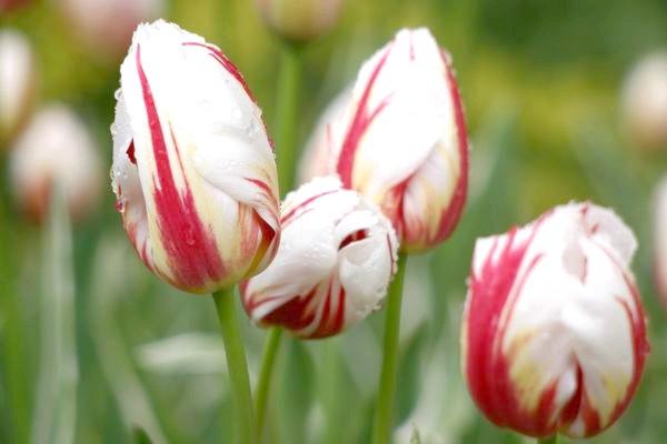 Відкриття виставки тюльпанів Нікітського ботанічного саду