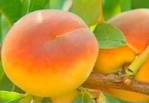 Фото - Персики догляд за деревами. особливості вирощування та обрізки