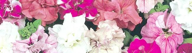 Фото - Петунія махрова - всі секрети прекрасної квітки