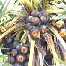 рослина артишок