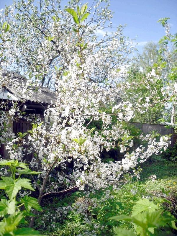 Сад в цвіту