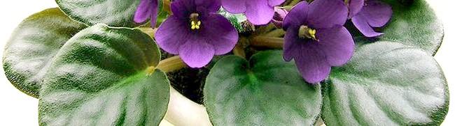 Фото - Чому досвідчені квітникарі воліють гнотовий полив фіалок?