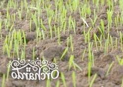 Фото - Чому осіння посадка газону краще, і як сіяти газонну траву восени