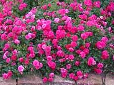 Грунтопокривні троянди