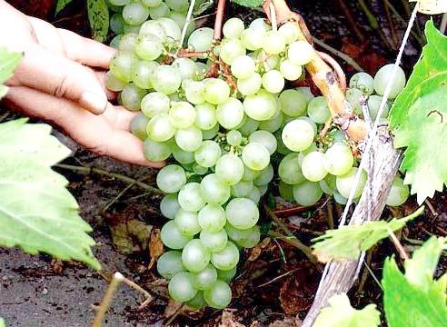 Виноград, сорт Краса Півночі